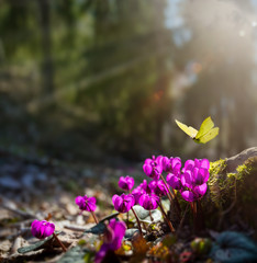 art Beautiful wild pink flower fresh spring morning on nature and fluttering butterfly on spring forest background, macro. Springtime template
