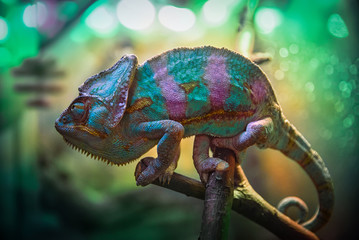 A green, pink and blue chameleon is sitting on a branch