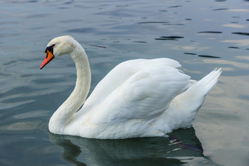 Close-up of a graceful wild white swan in a lake and reflection.