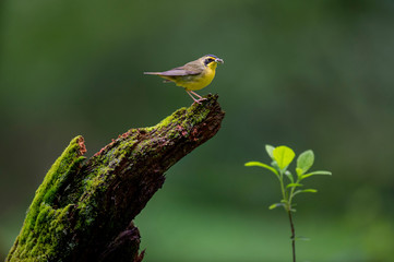 A Kentucky Warbler perched on a mossy covered log with caterpillars and insects in its beak with a smooth green background. Fotomurales