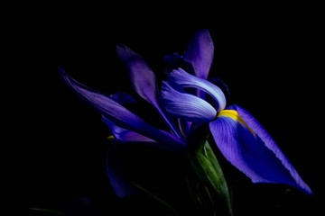 blue and yellow iris spring flower