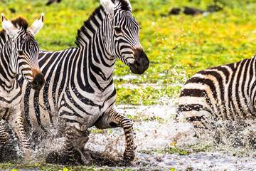 Canvas Prints Zebra Zebra Splashing a Puddle
