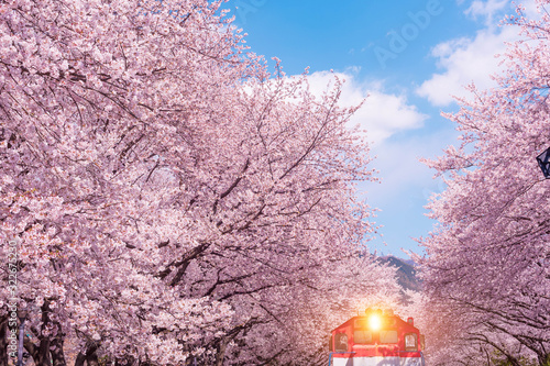 Wall mural Cherry blossom in spring in Korea is the popular cherry blossom viewing spot, jinhae South Korea.