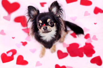 Valentine card with chihuahua against background with hearts