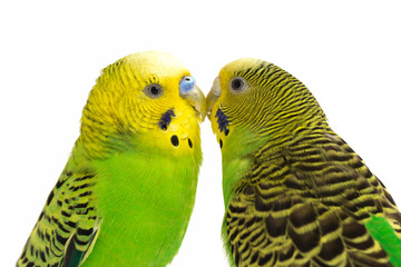 A pair of common parakeets is kissing isolated on white background Fotomurales