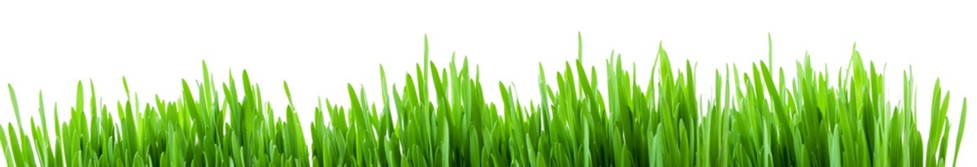 Canvas Prints Grass Green spring grass sprouts isolated on white background, wide panorama format for banner