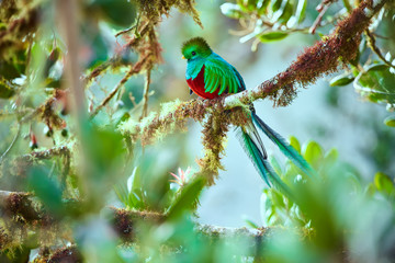 The most beautiful bird of Central America. Resplendent quetzal (Pharomachrus mocinno) Sitting ma branches covered with moss. Beautiful green quetzal with red belly. Fototapete