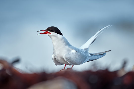 Elegant Arctic tern (Sterna paradisaea) sitting on the coast of Varanger fjord. Bird in natural habitat.
