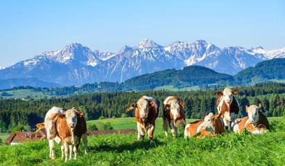 Photo sur Plexiglas Vache Kuhherde genießt die Morgensonne auf einer Weide im Alpenvorland im Frühling