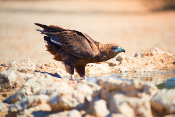 Bateleur, Terathopius ecaudatus,  eagle on the rocky ground, drinking at waterhole against sunny, dry desert in background. African wildlife experience during camping in Kgalagadi park, Botswana.