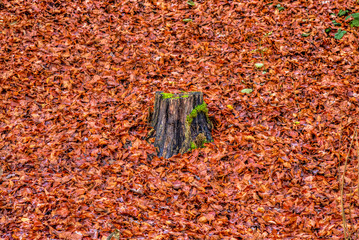 Chopped tree trunk surrounded by red dry leaves in a forest