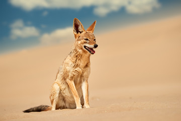 Isolated african canid, Black Backed Jackal, Canis Mesomelas, hunting on the sand dune against blue sky . Low angle, african wildlife photography theme, traveling Dorob national park, Namibia.