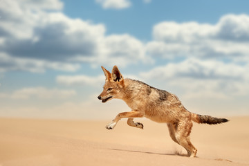 Isolated african canid, Black Backed Jackal, Canis Mesomelas, hunting on the sand dune against blue sky with clouds. Low angle, real african wildlife encounters during traveling desert Dorob, Namibia.
