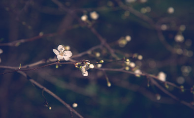 Springtime dream. Blooming cherry tree background. Selective focus and shallow depth of field. Bokeh. Retro toned moody photo.