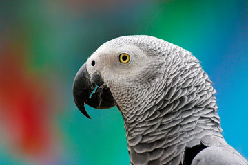 Portrait of a parrot in close-up on a multicolored background.