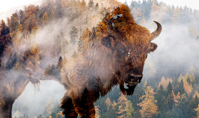Fotobehang Bison double exposure of bison and foggy forest
