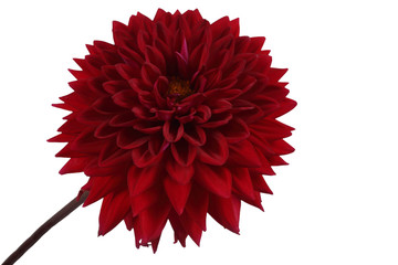 Zelfklevend Fotobehang Dahlia Growing red dahlia isolated on white