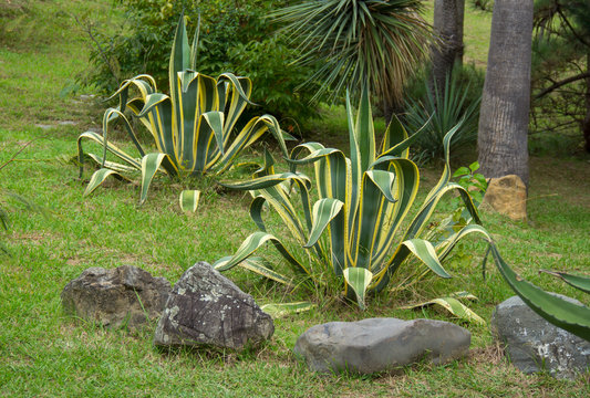 Agave americana, sentry plant, it grows in the wild in the highlands of Mexico. tropical vegetation and jungles.