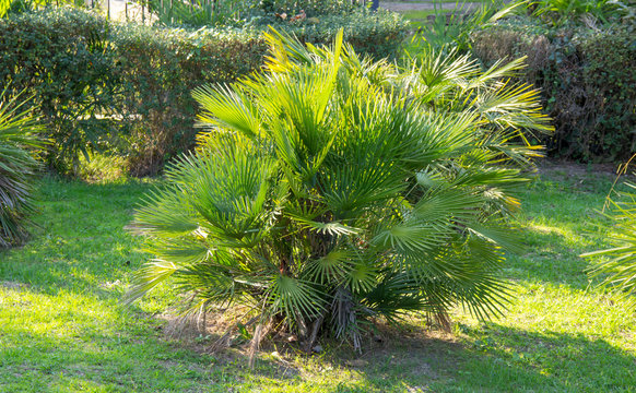 Chamaerops humilis is the only palm growing in Europe, so it is also called the European fan palm.