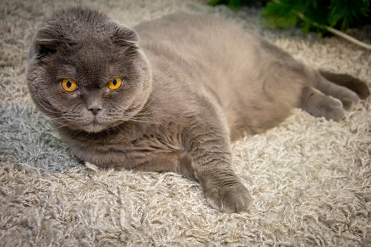 Gray cat on a black background British fold cat with yellow-brown eyes
