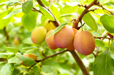 Fresh yellow plums. Branch of plum fruit. Scene of garden plum tree. Orchard plums fruit. Ripe fruits harvested in fall. Own garden or market
