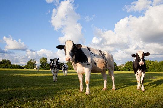Vache Holstein dans la campagne verte.