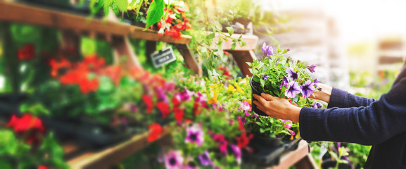 Fotorolgordijn Tuin woman pick petunia flower pot from shelf at garden plant nursery store. copy space