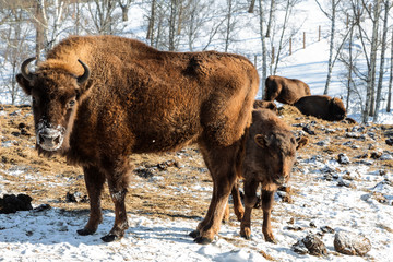 European bison Female with a calf in the winter mountains close-up. Altai, Russia