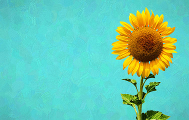 Beautiful picture of blooming sunflower put on a turquoise oil paint background.