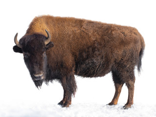 Spoed Fotobehang Buffel bison stands in the snow isolated on a white background.
