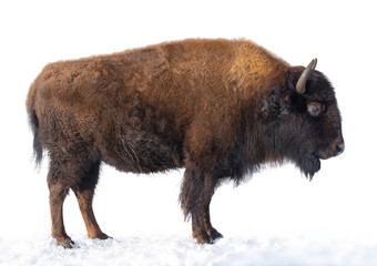 Tuinposter Buffel bison stands in the snow isolated on a white background.