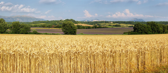 Panoramic view of wheat field with lavender field at background , Provence, France