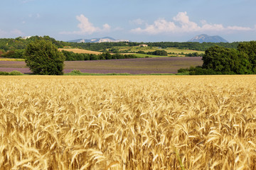 View of wheat field with lavender field at background , Provence, France