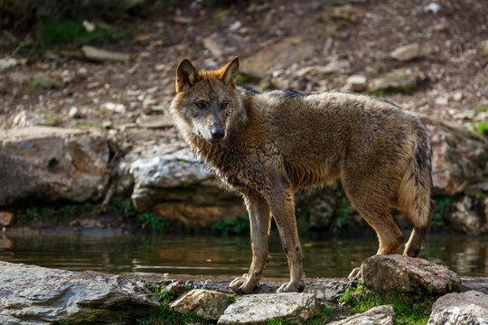 Lobo ibérico al borde de una charca. Canis lupus signatus. Sanabria, Zamora, España.