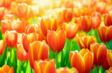 Foto op Canvas Tulp Fresh colorful tulips flower bloom in the garden