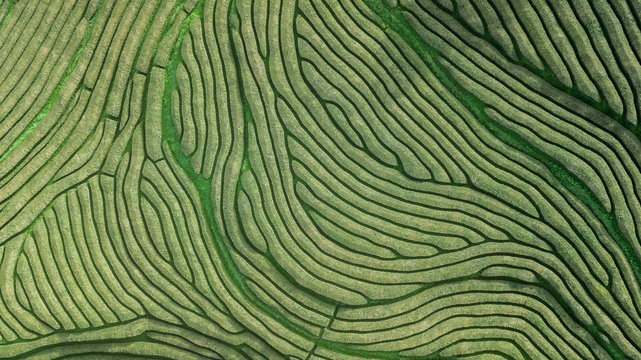 Drone aerial view of the oldest tea plantation in Europe at Gorreana farm field in Sao Miguel sland, Azores, Portugal