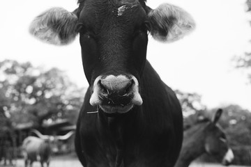 Wall Mural - Heifer calf portrait close up, commercial beef cow for agriculture industry cattle farm.