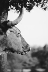 Fototapete - Sleepy Texas Longhorn cow close up in black and white.