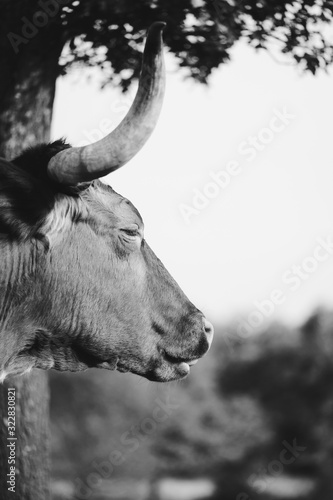 Wall mural Sleepy Texas Longhorn cow close up in black and white.