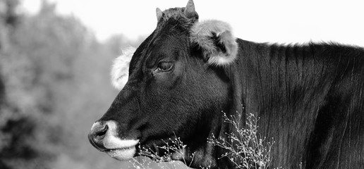 Wall Mural - young cow on farm, profile view in black and white