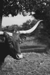 Fototapete - Texas Longhorn cow portrait in rural farm.