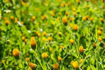 Beautiful Scenery Of Yellow Flower Meadow In Spring Season. Green Grass Texture Or Background