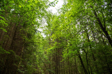 Beautiful Scenery Of Forest In Sweden. Many Trees With Green Colored Branches. Sunny Spring Or Summer Time