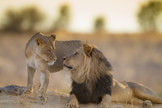 Mating lions, lion mating, in the wilderness of Africa