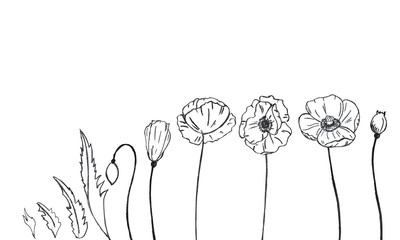 Sample element from poppies for borders, patterns, or frames. Pencil drawing, design for packaging, fabric, fabric, paper, frame.