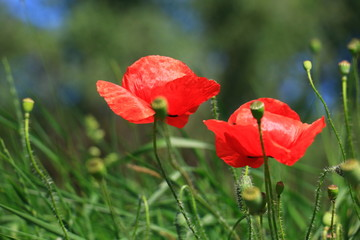 poppies blooming in the wild meadow