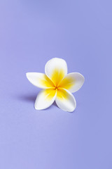 Spoed Fotobehang Frangipani Beautiful white flowers frangipani plumeria alba on violet background.