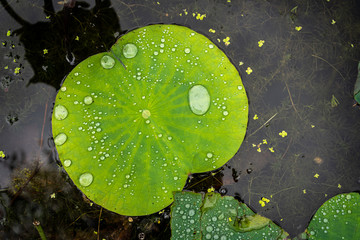 Garden Poster Lotus flower Droplets of water in the big leaf of a lotus flower