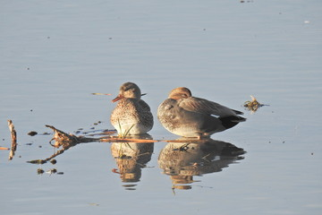 A pair of gadwall ducks resting in the shallow waters of the Merced National Wildlife Refuge, California.