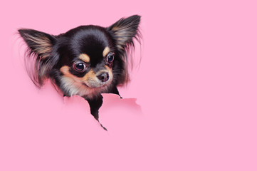 Dog's head in the hole in pink backdrop
